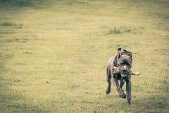 Perro que corre en hierba Fondo verde imagen de archivo