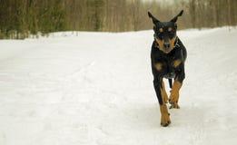 Perro que corre en invierno Imágenes de archivo libres de regalías