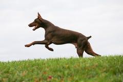 Perro que corre en la hierba Imagen de archivo