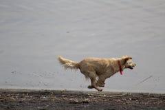 Perro que corre en la playa Imágenes de archivo libres de regalías