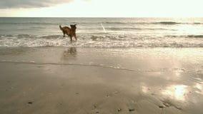 Perro que corre hacia el mar almacen de video