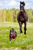 Perro que corre lejos de un caballo Imágenes de archivo libres de regalías