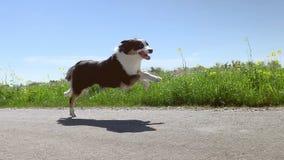 Perro que corre rápidamente en el camino almacen de metraje de vídeo