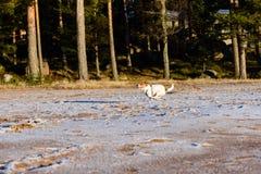 Perro que corre a través de la playa del invierno Fotografía de archivo