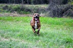 Perro que corre a través de prado Fotos de archivo libres de regalías