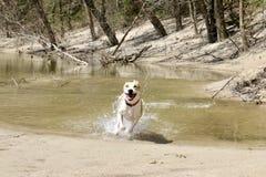 Perro que corre a través del agua Imágenes de archivo libres de regalías