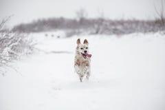 Perro que corre a través de la nieve Fotografía de archivo libre de regalías