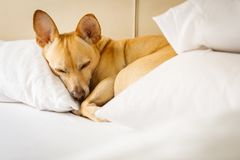 Perro que descansa sobre cama en casa Foto de archivo