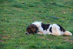 Perro que descansa sobre hierba Imagenes de archivo