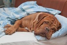 Perro que duerme dulce en la cama del propietario Imagen de archivo libre de regalías