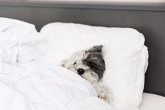 Perro que duerme en cama Fotos de archivo