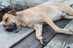 Perro que duerme en el puente de madera Imagenes de archivo