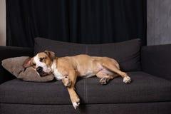 Perro que duerme en el sofá imagen de archivo libre de regalías