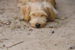 Perro que duerme en la tierra Foco selectivo Foto de archivo