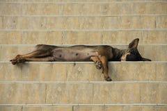 Perro que duerme en pasos Imagen de archivo libre de regalías