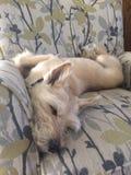 Perro que duerme en silla Imagen de archivo libre de regalías