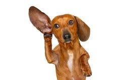 Perro que escucha cuidadosamente foto de archivo libre de regalías