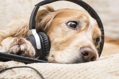 Perro que escucha el teléfono móvil de la música nuevo Imágenes de archivo libres de regalías