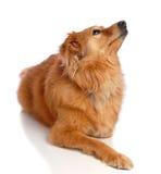 Perro que espera Imagen de archivo libre de regalías
