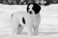 Perro que espera en nieve Imagen de archivo libre de regalías
