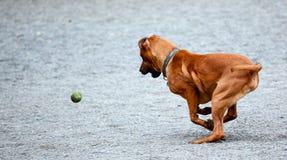 Perro que extrae la pelota de tenis Imágenes de archivo libres de regalías