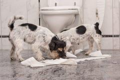 Perro que hace el lío - terrier de Russell del enchufe del caos en el cuarto de baño imagen de archivo libre de regalías