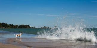 Perro que hace frente a ondas grandes Foto de archivo libre de regalías