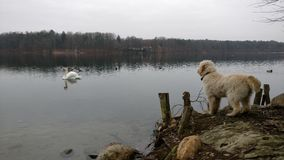 Perro que hace frente a un cisne Imagen de archivo libre de regalías