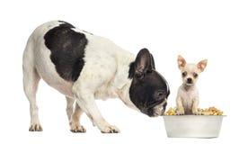 Perro que huele en un perrito de la chihuahua en un cuenco, aislante de Bull del francés Fotos de archivo
