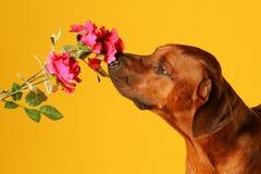 Perro que huele en una rosa Imagen de archivo libre de regalías