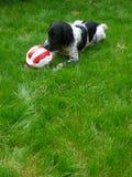 Perro que juega con el balón de fútbol Imagenes de archivo