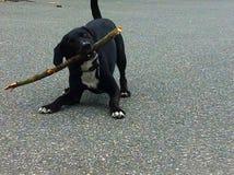 Perro que juega con el palillo Fotos de archivo