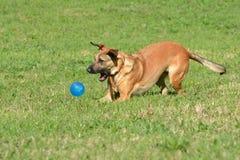 Perro que juega con la bola Imagen de archivo libre de regalías