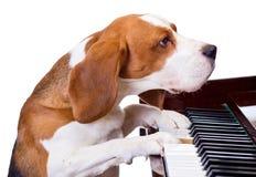 Perro que juega el piano. fotografía de archivo