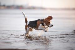 Perro que juega en agua Foto de archivo libre de regalías