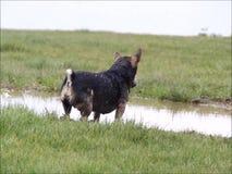 Perro que juega en agua fangosa almacen de video