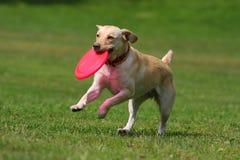 Perro que juega en disco del vuelo Imágenes de archivo libres de regalías