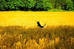 Perro que juega en el campo de trigo Fotos de archivo libres de regalías