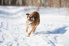 Perro que juega en la nieve Fotografía de archivo libre de regalías