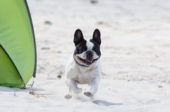 Perro que juega en la playa Fotos de archivo