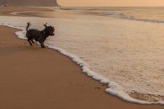 Perro que juega en la playa Imagenes de archivo