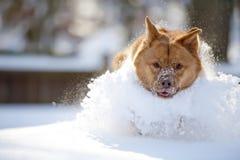Perro que juega en nieve Imagenes de archivo