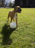 Perro que juega a fútbol fotografía de archivo libre de regalías