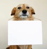 Perro que lleva a cabo una muestra en blanco Imágenes de archivo libres de regalías