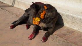 Perro que lleva el collar amarillo de la flor y a Dot Tika rojo durante el festival de Kukur Tihar en Nepal almacen de metraje de vídeo