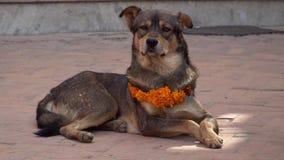Perro que lleva el collar amarillo de la flor y a Dot Tika rojo durante el festival de Kukur Tihar en Nepal metrajes