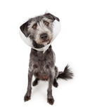 Perro que lleva el cono médico Imagen de archivo libre de regalías