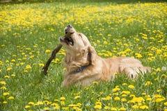 Perro que mastica un palillo Foto de archivo libre de regalías