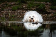 Perro que miente en el agua Imagen de archivo libre de regalías