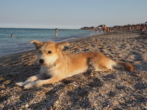 Perro que miente en la arena en la playa Fotografía de archivo